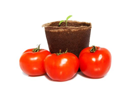 new sprout of tomato and the same vegetables