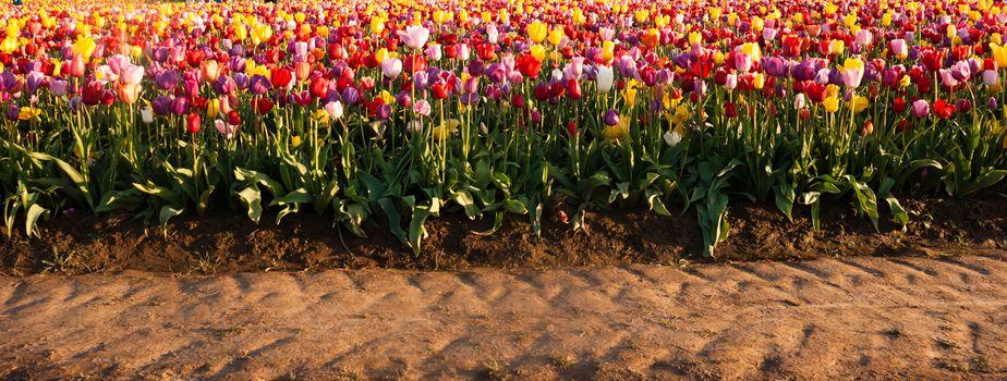 Neat Rows Tulips Colorful Flowers Farmer's Bulb Farm Tractor Path