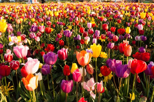 Neat Rows Tulips Colorful Flower Petals Farmer's Bulb Farm