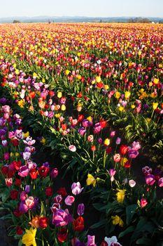 Neat Rows of Tulips Colorful Flowers Farmer's Bulb Farm