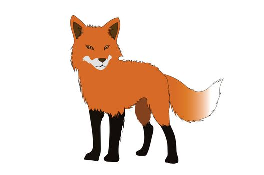 Red fox isolated on white backgrounds. Stand alone.