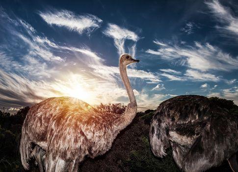 Ostriches in wild nature