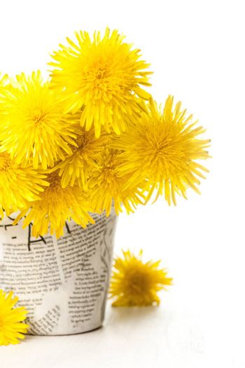 Dandelions in a news paper pot on a white wooden background