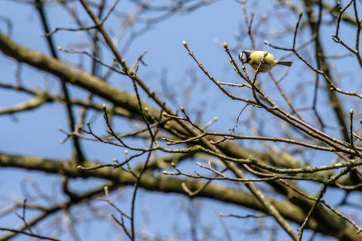 Parus Major bird on a twig