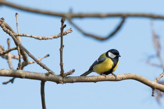 Parus Major bird looking for food