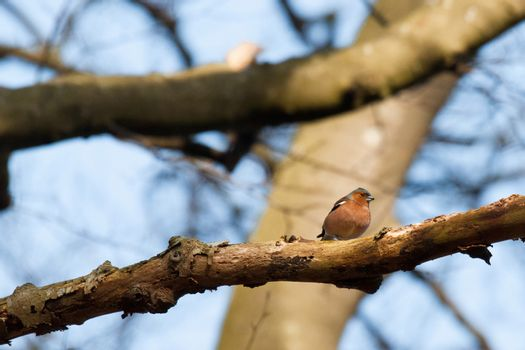 Chaffinch in the forest at wintertime