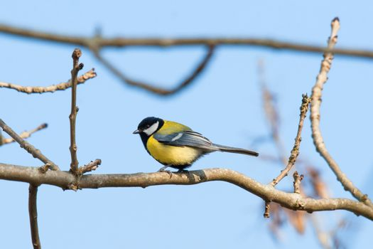 Parus Major sitting on a twig at springtime