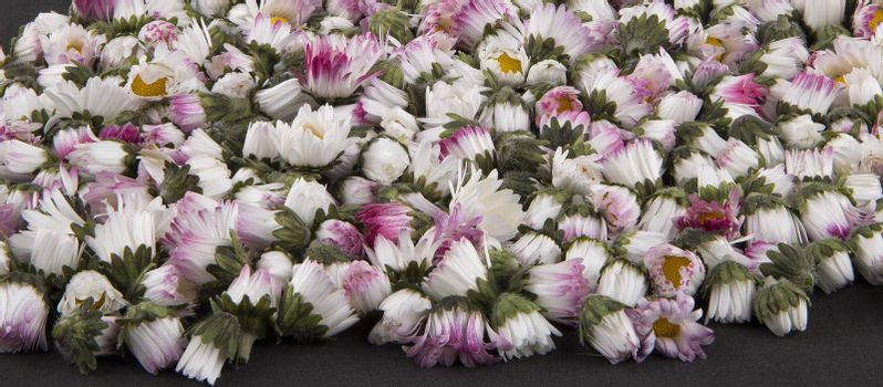 Bellis perennis  sleeping daisies background