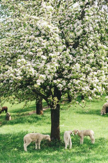 Flock of Sheep under a Tree
