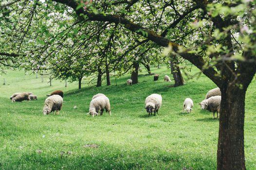 Sheeps in a Spring Landscape