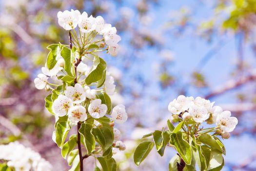 flowers of tree in spring