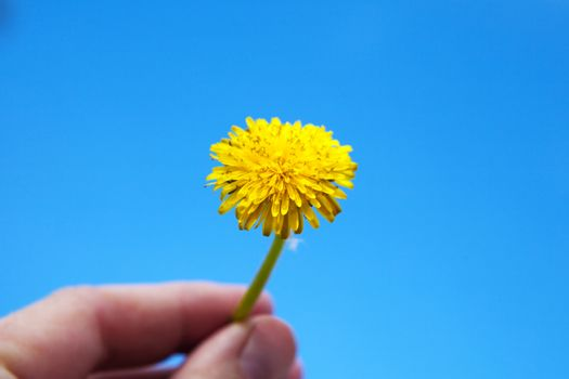 a yellow dandelion in hand
