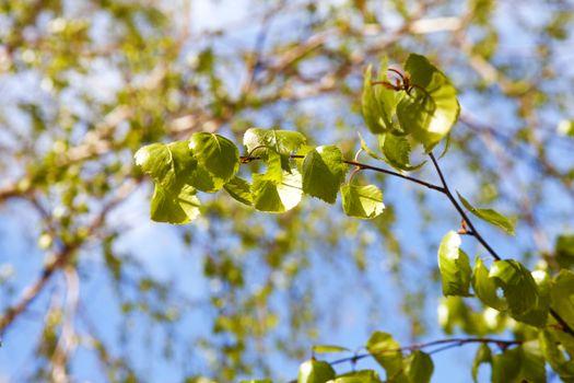 green branch of birch