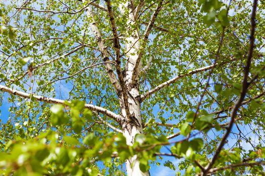 a birch tree in spring