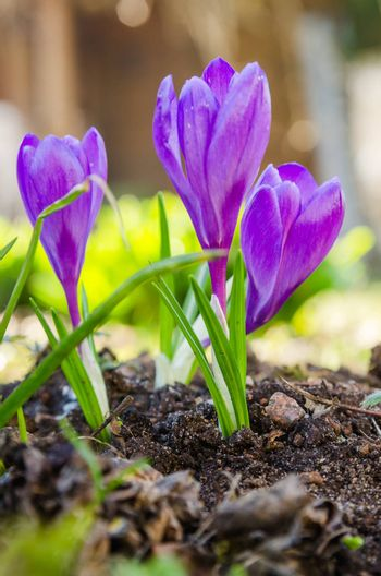 The first spring crocuses, close up