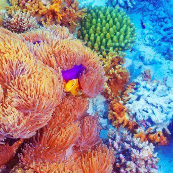 Clown fish swimming near colorful corals