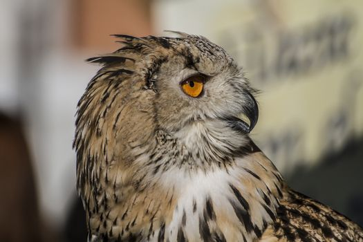 feather, eagle owl, detail of head, lovely plumage