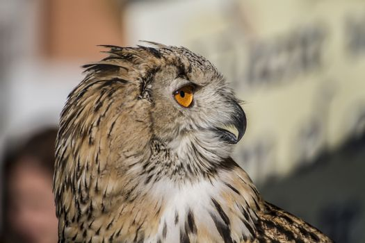 eagle owl, detail of head, lovely plumage