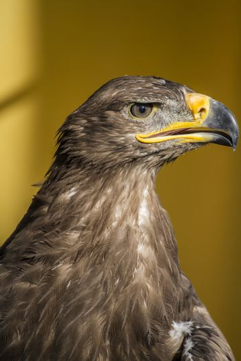 bird, golden eagle, detail of head with large eyes, pointed beak