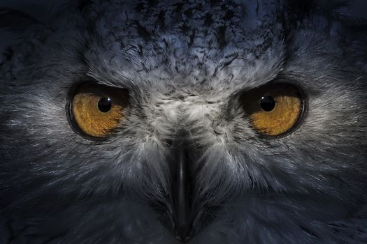 ecology, eagle owl, detail of head, lovely plumage