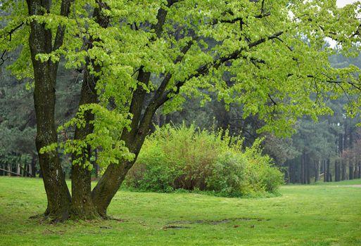 Linden Tree in Park