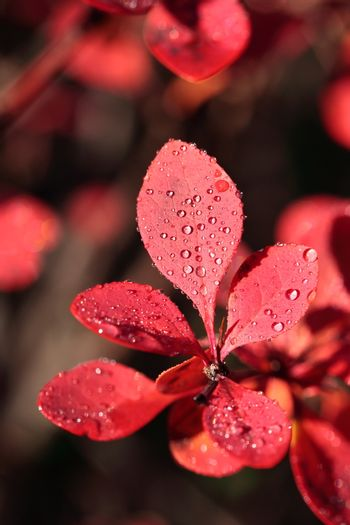 Dew on the leaves of red flower
