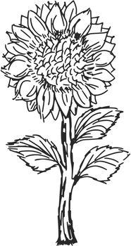 hand drawn, sketch, cartoon illustration of sunflower