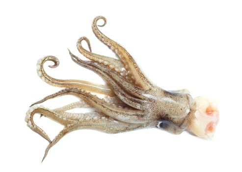 Squid tail isolated