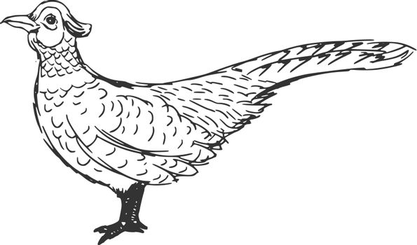 hand drawn, sketch, cartoon illustration of pheasant