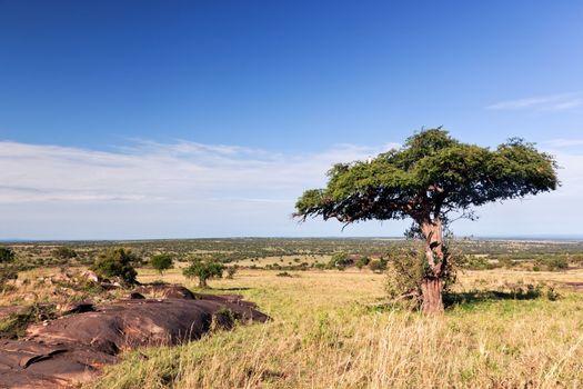 Single tree on savanna, bush in Africa. Tsavo West, Kenya.