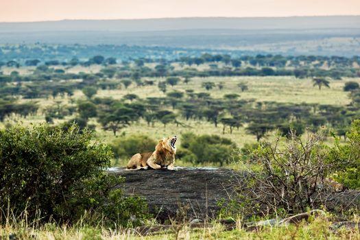 Lion roars on rocks on savanna at sunset. Safari in Serengeti, Tanzania, Africa