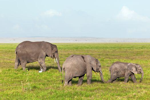 Elephants herd, family on savanna. Safari in Amboseli, Kenya, Africa