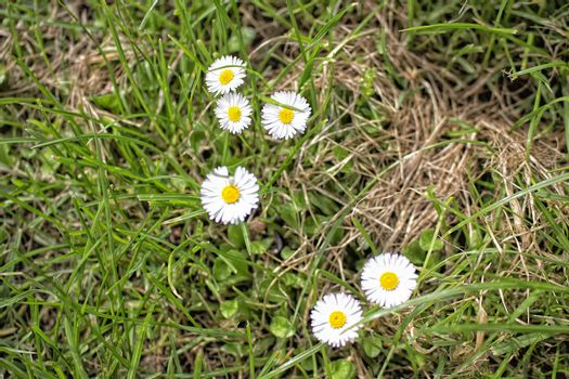 Daisy macro: bellis perennis on grass background