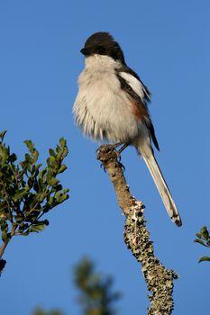 Female Fiscal Shrike bird