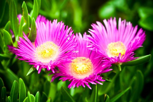 mesembryanthemum daisy flowers