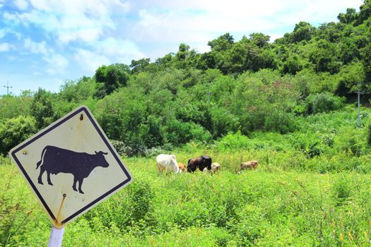 Cows grazing in green meadow and cow sign