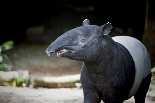 Southeast Asian Tapir in the Malaysian wilderness
