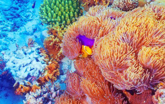 Clown fish near colorful corals