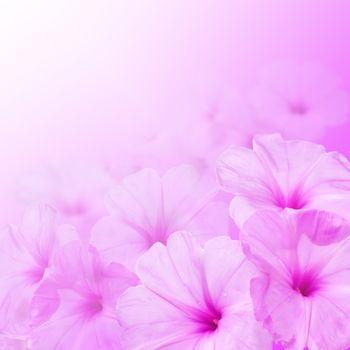 Flower background. Morning glory flowers