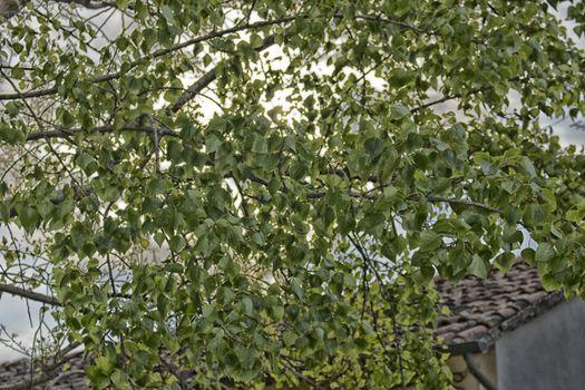 Green leaves on light orange sunyellow sunlight
