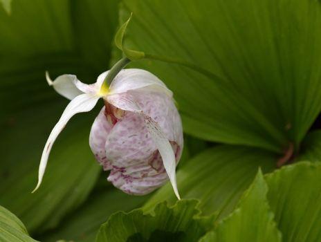 Slipper orchid (cypripedium formosanum)