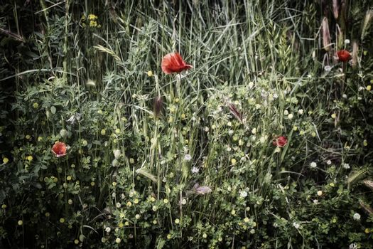 Red poppies on green weeds field with yellow  flowers in Italian countryside
