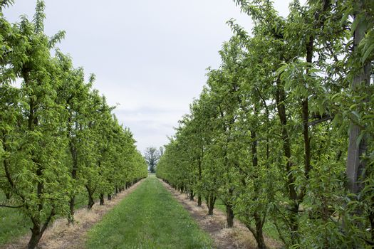 Peach trees rows in Italian rural countryside