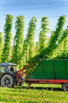 Harvesting the Hop