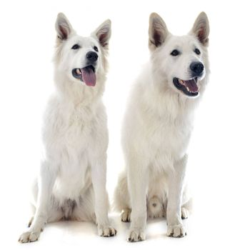 Purebred White Swiss Shepherds in front of white background
