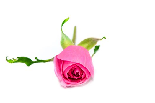 Pink rose on white isolated.