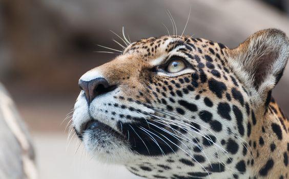 Stare leopard face