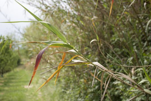 Giant cane on weeds background