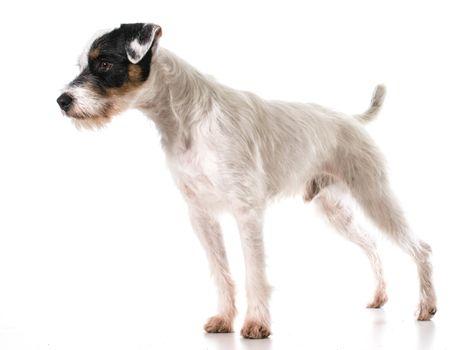 jack russel terrier standing
