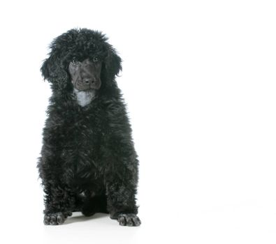 standard poodle puppy sittiting looking at viewer isolated on white background